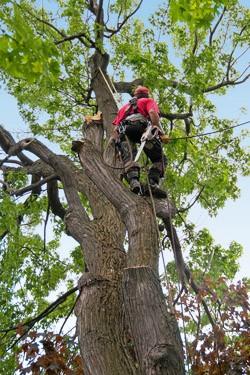 Abattage d 39 arbre et lagage conseils de pro en abattage for Prix de l elagage d un arbre